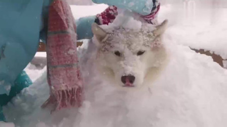 哈士奇犯错了, 主人将它堆成了雪人, 结果意外激发二哈的隐藏属性