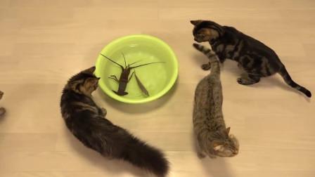 一只小龙虾把这几只小猫咪吓的都跑了