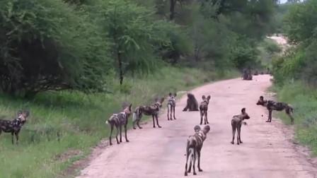 1只狒狒对决9条野狗,结局让人意想不到,镜头拍下全过程!