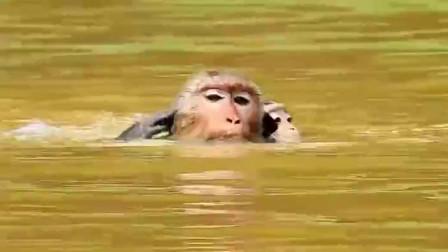 猴妈妈欲将小猴子淹死?不料猴爸爸出手阻止,结局让人意外