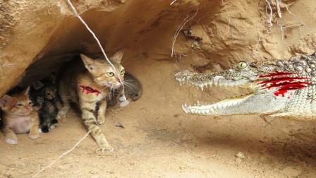 母爱有多伟大?弱小的猫咪为了孩子,敢和鳄鱼拼死一搏