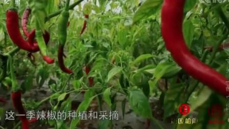 舌尖上的中国:四川土辣椒制作火锅底料,中国美食源远流长