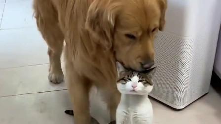 萌宠:听到有人要偷猫,金毛立马就醒了,叼着猫赶紧往屋里跑