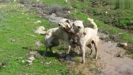 斗狗:坎加尔猎狼犬脾气暴躁与同伴搏斗!一路厮打,主人都不敢去拉