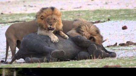 狮子捕获小象,竟没想到被野牛救下,网友:野牛太勇敢了