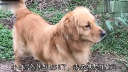金毛准备去干架,可看到对方有四条狗后,赶紧寻找帮手!