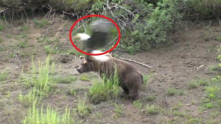 老鹰把棕熊当兔子,飞进后才发现情况不妙,镜头拍下全过程