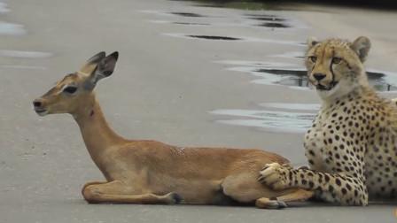 猎豹第一次捕食,抓着迟迟不敢下口,心疼这只羚羊
