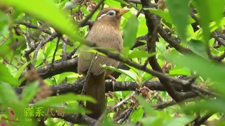 野生画眉鸟的叫声清脆嘹亮,特别好听!