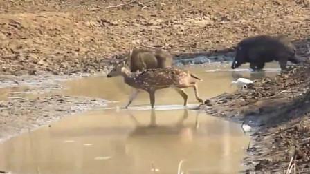 野猪夫妻吵架,母野猪趴在池塘边凉快,公猪跑过去用嘴顶它