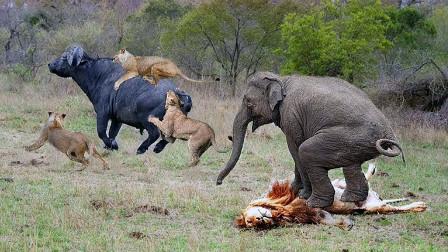 狮子围捕水牛,快要成功时冒出一头大象,结局太让人不可思议了!