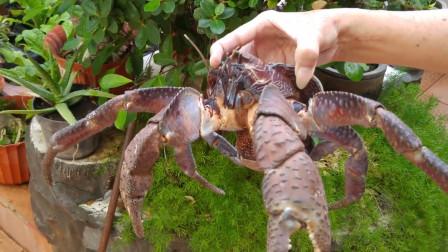 这是我见过最凶猛的螃蟹,敢以鲨鱼为食,吃货:多少顿才能给吃完