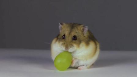 小仓鼠一直啃这个葡萄,但很长时间都没吃上,小仓鼠很无奈!