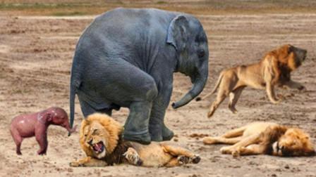 狮子袭击大象母子,不料遭对方反扑,镜头拍下狮子狼狈的一幕!