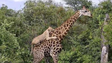 世界最强吃货!长颈鹿被6头狮子咬4小时,仍然淡定吃树叶!