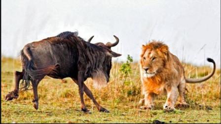 镜头记录狮子围捕角马,差一点就被角马反杀了