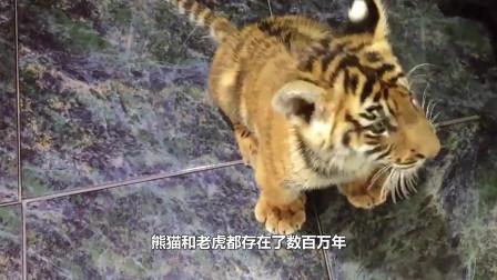 當老虎碰到熊貓,一場大戰不可避免,結局令人意外