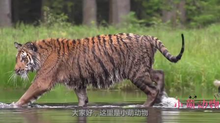 老虎捕食野猪简直厉害,只用一招,野猪当场毙命!