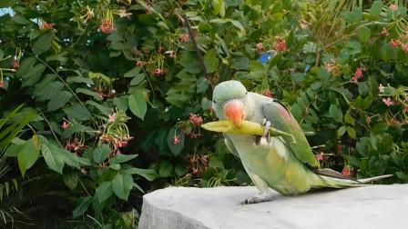 吃货鹦鹉陷入主人圈套,看到辣椒就啃,鹦鹉:我的主人是魔鬼