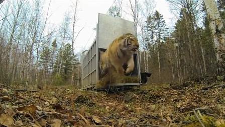 老虎被治疗好后,放虎归山的那一刻,才知老虎有多厉害!