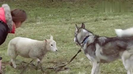 主人让哈士奇去放羊, 二哈一直在吓唬小羊, 结果惨了!