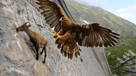 """岩山羊和老鹰山崖间生死""""飙车"""",不料山羊使出绝招,老鹰翻了车"""