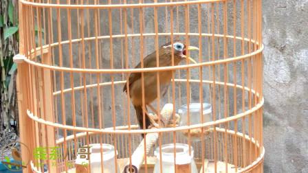 这只画眉鸟很不错,猜猜养了多久?