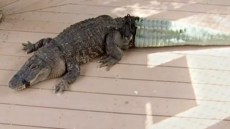 鳄鱼没了尾巴找人类求救,专家给它打印了一条尾巴,装上后开心了