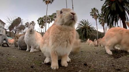 澳大利亚野兔泛滥,引入狐狸捕捉,吃货:是红烧兔头不好吃吗
