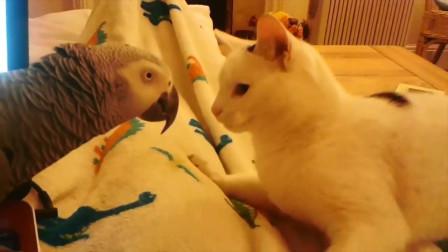 主人宠爱鹦鹉猫咪嫉妒,猫咪上前拍了拍鹦鹉的屁股,太逗了