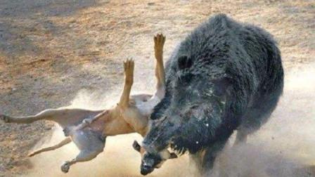3只猎狗围攻1只野猪,开局便送一血!剩下两只:打扰了,告辞