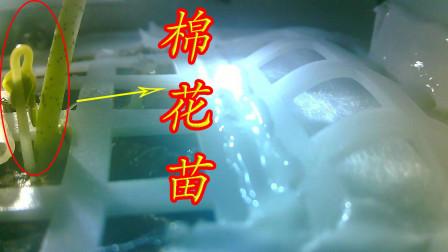 月球昼夜温差极大,嫦娥四号却成功培育出棉花苗,如何做到的?