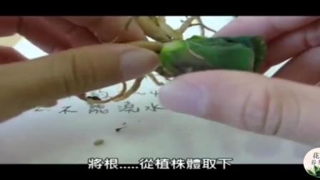 多肉植物:玉扇的繁殖教学视频