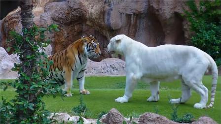 饲养员觉得老虎很孤单,于是找了只异性白虎,镜头记录下这一幕