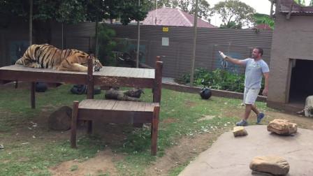 饲养员作死挑逗老虎,老虎发怒,意想不到的画面被镜头记录