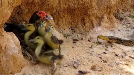 鸭妈妈被巨蟒缠身绝望无助,外国小伙力敌巨蟒,拯救鸭子一家
