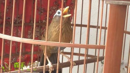 画眉鸟的歌声这么动听,不知不觉听完了