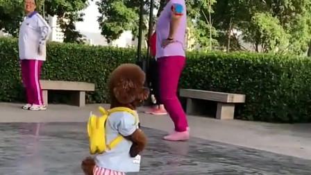 萌宠£º这小泰迪£¬竟跑到公园看大妈们跳广场舞£¬太可爱了