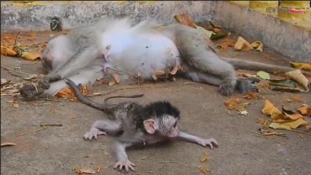 小猴子并不知道妈妈已经不在了,只是执著地陪在身边,实在太感人了