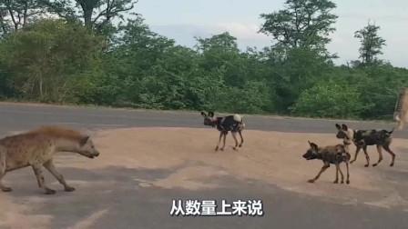鬣狗疯狂掏起肛来,连自己人都不放过,狮子都怕它!
