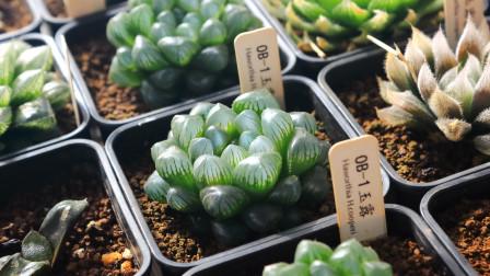 关于玉露、寿、万象、玉扇等十二卷属多肉植物的繁殖方法,花卉绿植日常养护小知识视频