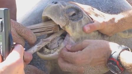 海龟主动向人类求助,面对剧痛的手术,没有任何反抗!令人心疼!