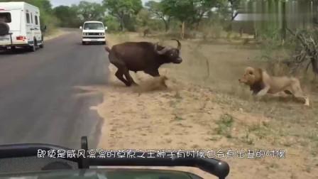 狮群们开心的吃着食物,一只狮子被饥饿冲昏了头脑,不料发生意外