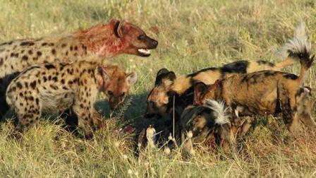 当野狗群遇上凶残的鬣狗,结局会是怎样?鬣狗:我能打十个