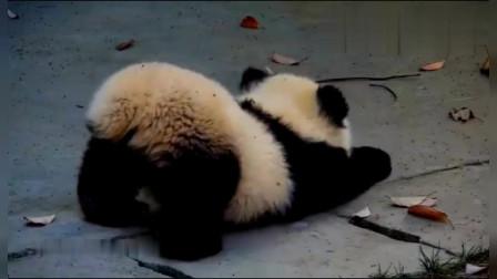 哈哈,这只大熊猫宝宝的姿势,简直逗死我了,真想拍一下啊