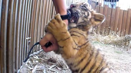 饲养员要辞职了,小老虎紧紧地抱住自己的奶爸,嘴里不停的哀嚎!