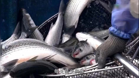 香港美食,清蒸乌头鱼,现时香港最大的乌头养殖场