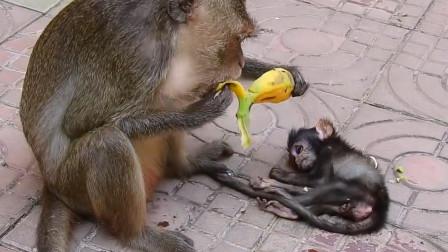 猴妈妈只顾着吃香蕉,等它反应过来时,小猴子已经凉透了!