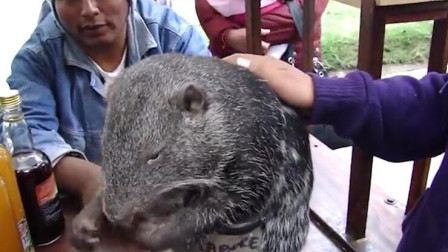 """60岁的老人捡到一只老鼠,结果一养就是20年,都快养成""""巨鼠""""了!"""