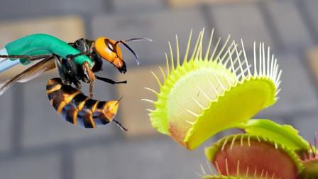 老外将大黄蜂放入捕蝇草中,2秒后,捕蝇草的反应让人意想不到!